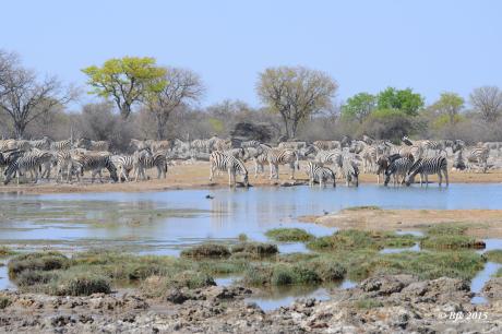 Franck Batard, Photographe animalier amateur, zèbres, parc de Etosha en Namibie
